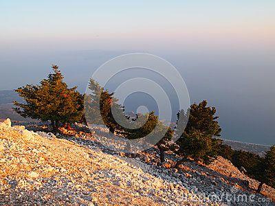 Greek Fir (Abies cephalonica) is specie of pine wood of Kefalonia, Greece