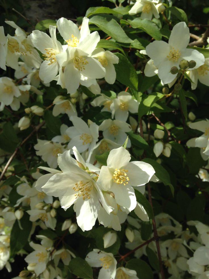 33 best images about philadelphus on pinterest white flowers 5 years and shrubs - Philadelphus manteau d hermine ...