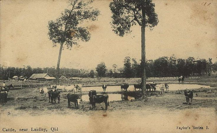 Picture of / about 'Laidley' Queensland - Cattle near Laidley, Queensland, ca. 1910