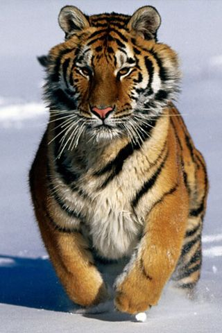 Siberian Tigers -is the largest big cat in the world, weighing up to 300 kilograms (660 pounds). Russia's tiger population had dropped to around 40 individuals by the 1930′s. Since then, the animal has been protected, and its numbers have rebounded to around 500. However, it is still threatened by illegal hunting and habitat loss in the form of logging and development.