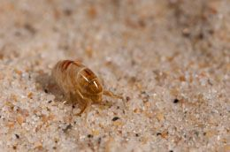 As the name rightly suggests, sand fleas are mainly found in sand. So, beach goers must have a basic know-how about sand flea bites and the treatment for the condition.