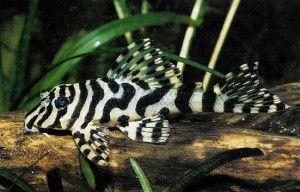 Common name: Leopard Frog Plecostomus, L134  Scientific name: Peckoltia Compta  Average Adult Fish Size: 4.3 inches