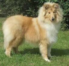 Milina, chien Colley à poil long