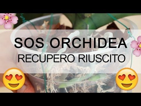 SOS ORCHIDEA - Recupero RIUSCITO AL 100% - YouTube