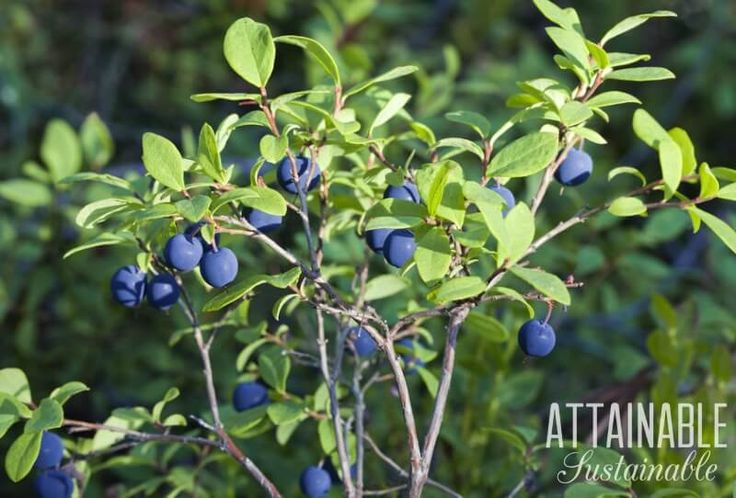 Growing blueberries is a great way to produce some of your own fruit. You don't need a lot of space - they do great in containers.