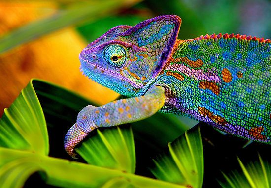 """When a chameleon is cold, the red and yellow cells shrink and the brown/black ones expand, therefore the skin changes into a dark color which absorbs more energy from the light. When it 's interested in mating or defending its territory, the chameleon produces bright colors. The meaning of a color or pattern of color varies with the species of chameleon.    And contrary to popular belief, a chameleon does not change its color in order to match the background and blend in."""