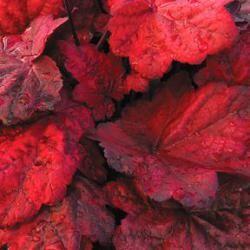 Heuchera 'Autumn Leaves'  kwekerij Bastin
