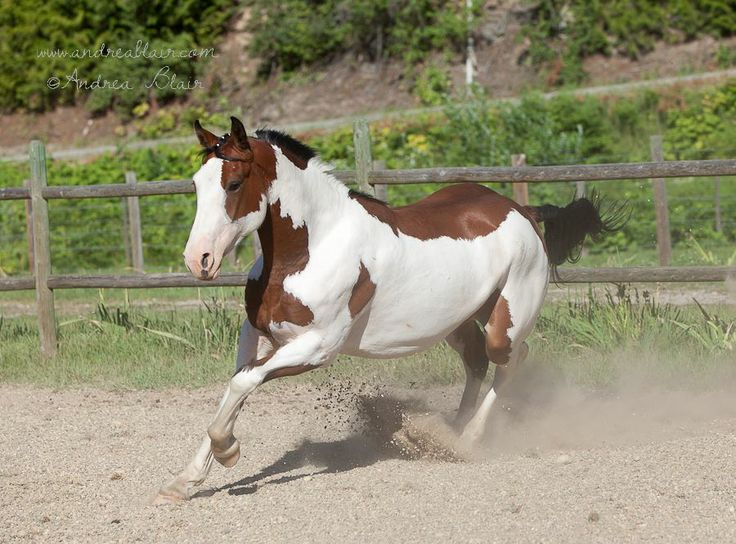 paint clydesdale - photo #25