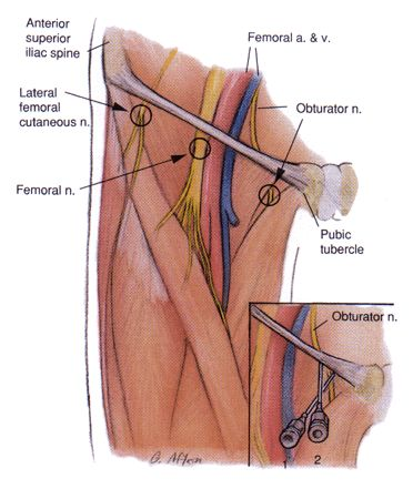 15 best femoral nerve block images on pinterest, Muscles