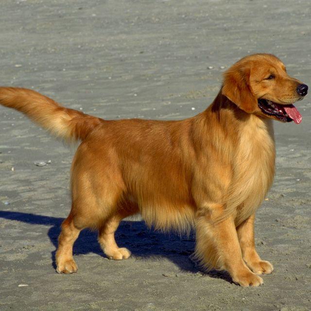 Фото золотистого ретривера - породы собак - компаньонов и охотников. Очень семейная порода собак. Играет с детьми с удовольствием.