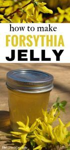 Forsythia Jelly | Home Canning | Food Preservation | Spring flowers bring...jelly? Do you have forsythia in your yard? Learn how to make forsythia jelly with all those blooms and blossoms!