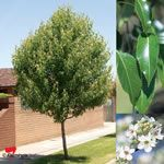 Ornamental Pear - Southworth Dancer 7x5m mod growth rate.