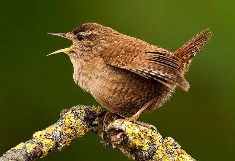 Hören Sie die Zaunkönig auf deutsche-vogelstimmen.de, welches eine umfassende Sammlung an deutschen Vogelstimmen ist. Funktioniert auch auf Ihrem Handy!