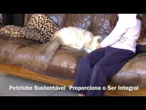 Bengal Maine Coon Gatos Gigantes Petclube Cattery Criadores
