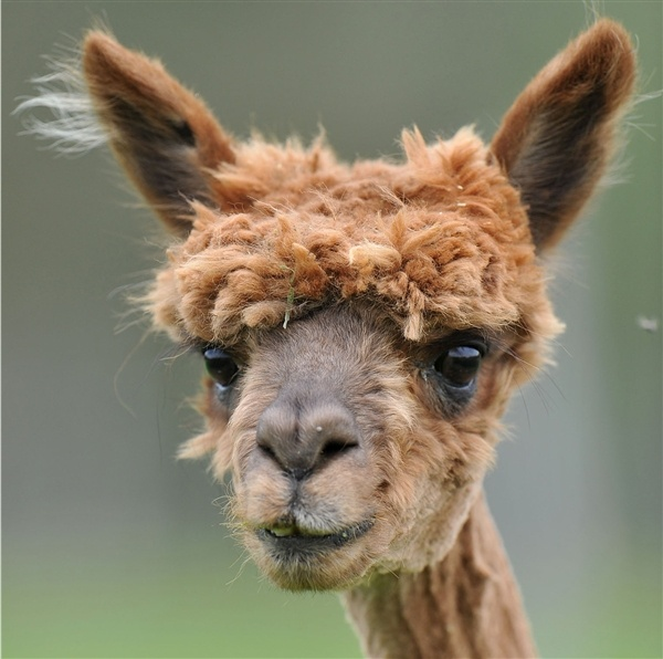 Best My Sweet Alpacas Images On Pinterest Nature My Style - 22 hilarious alpaca hairstyles