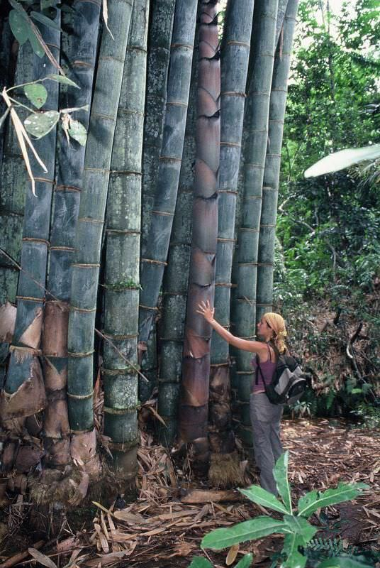 Dendrocalamus Giganteus is the latin name for one of the biggest species of giant bamboo, also known as Dragon Bamboo. It's a very tall, large green bamboo.