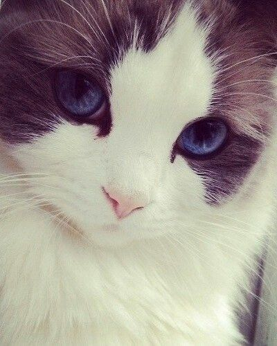 Ridiculously photogenic cat. Cute kitten with grey and white fur and blue eyes