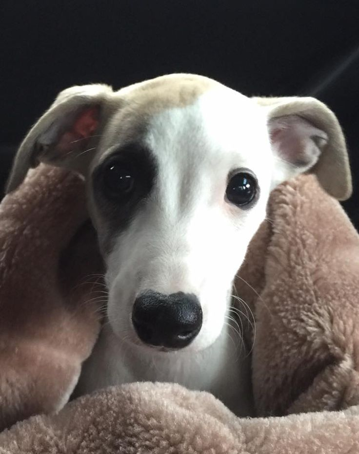 Charlotte, 9 week old whippet ♥
