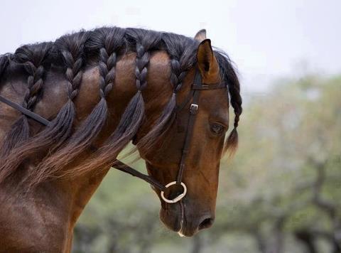 Il cavallo del capo tribù.