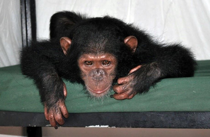 Friends, meet Shakira - the little two year old chimp we rescued last week from Equatorial Guinea. After a very nervous start, she is now settling into her new life. Stay tuned for news about her double rescue with Afangui the gorilla in the coming days.  www.apeactionafrica.org