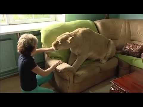 PET LION ATTACKS OWNER IN HOUSE
