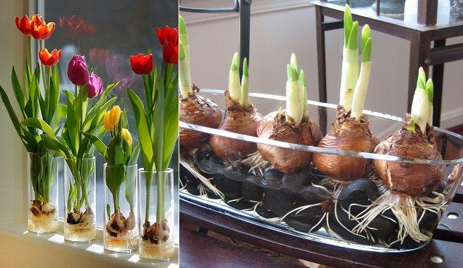 Plantar bulbos en agua