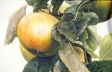 Malus domestica 'Ribston Orange Pippin'