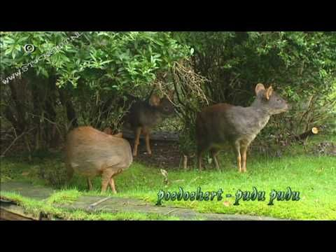 The smallest deerspecies in the world: Pudu & Muntjac - YouTube