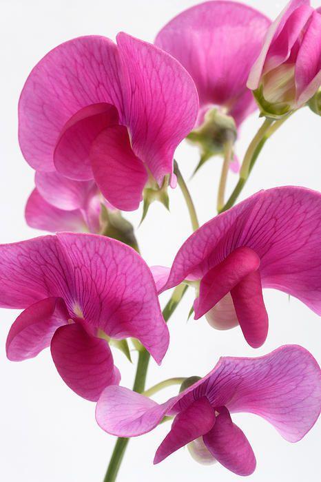Bright Pink Sweet Pea Flowers