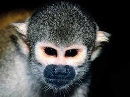 Se llaman así los monos que viven en las selvas húmedas de Centroamérica y Sudamérica. En muchas especies como los capuchinos, los monos aulladores y los monos araña, la cola es prensil, es decir, puede enrollarse en una rama y servir como quinto miembro. Tienen manos y pies fuertes con dedos largos para asir con firmeza las ramas, y son excelentes corredores y saltadores. A diferencia de los monos del Viejo Mundo, sus orificios nasales están bastante separados y se abren hacia los lados.