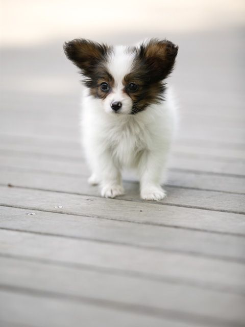 I miss my puppies!  Need a 'puppy fix'!  Papillon | Ok that is literally what I was thinking to myself today. Papillon puppies are like a drug.