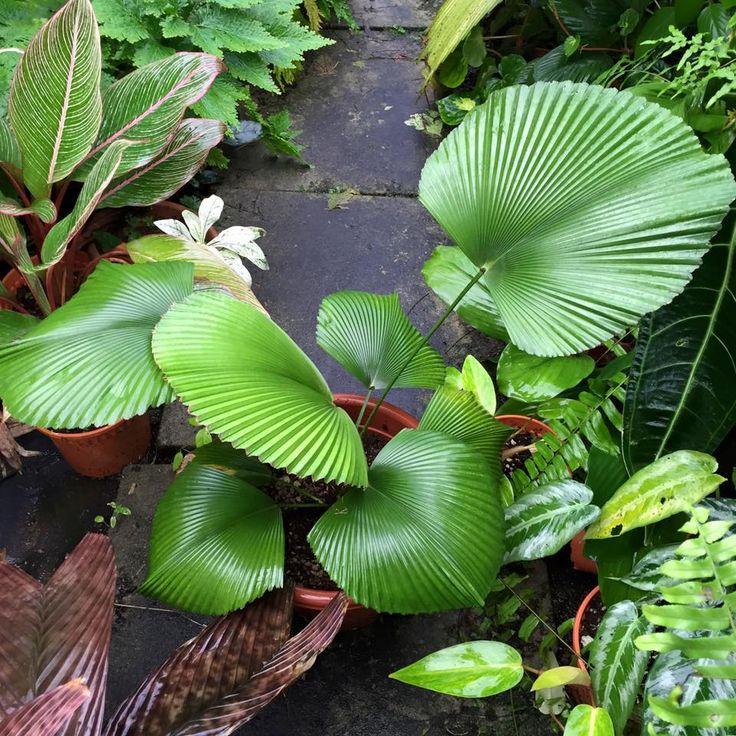 Licuala cordata #plantwishlist