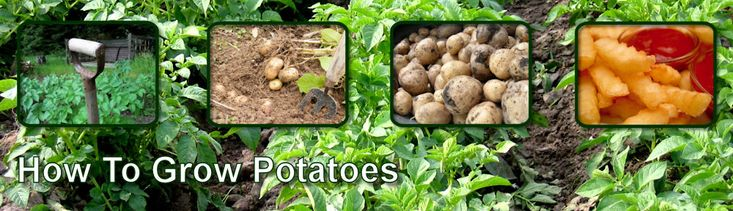 How To Grow Potatoes | How To Chit Seed Potatoes |