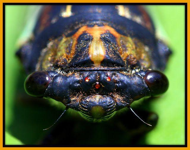 Cicadas... again