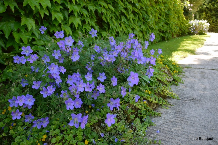 Johnson's blue geranium-this will bloom for a long time