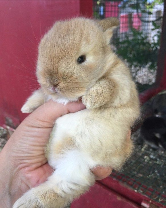 2 week old Holland Lops on the Bunny Farm - there is nothing cuter