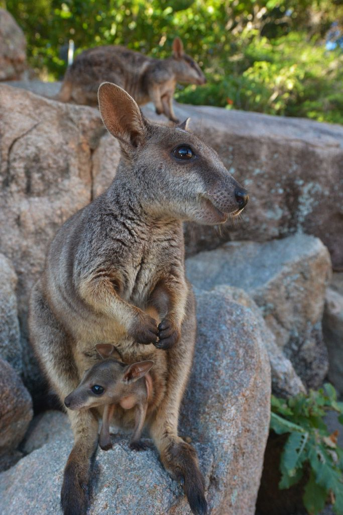 Get close to cute rock wallabies on Magnetic Island