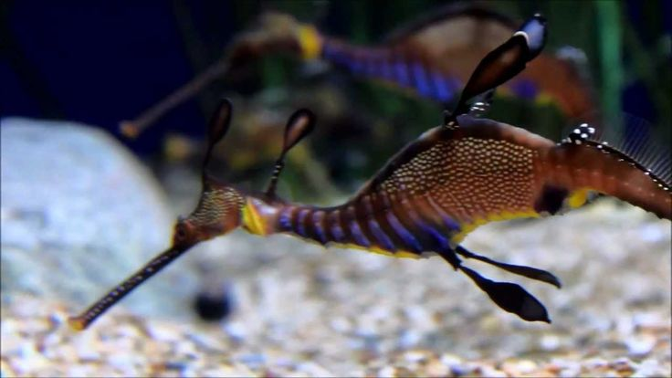 aqua dragons are pets | Sea Dragons and Seahorses - YouTube