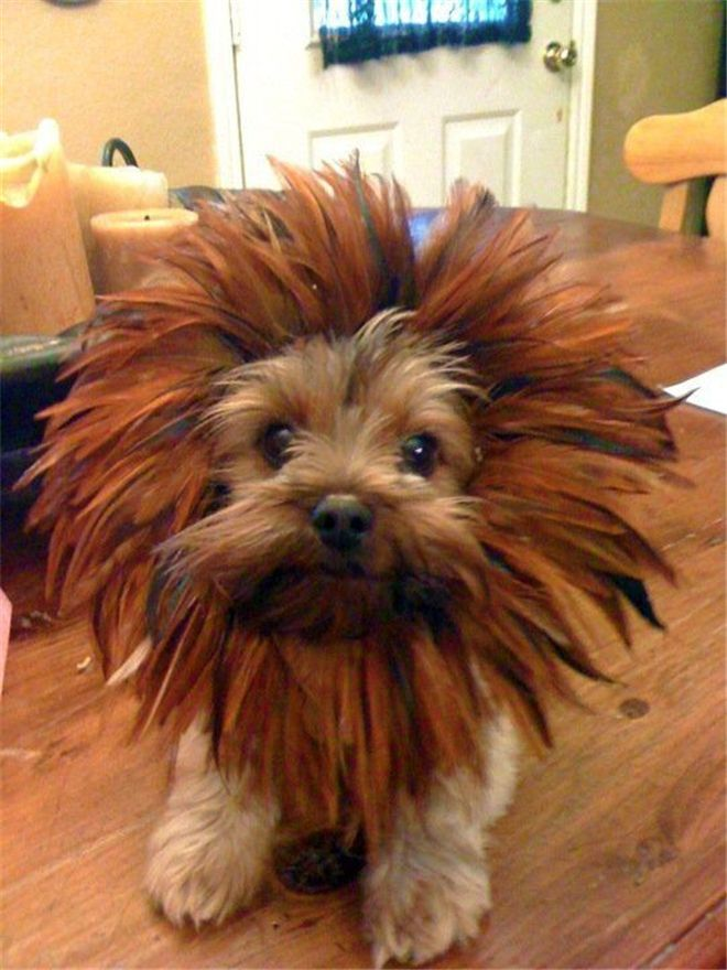 A small dog with the heart of a lion - 15 Unique and Creative Dog Costumes You Gonna Laugh Out!
