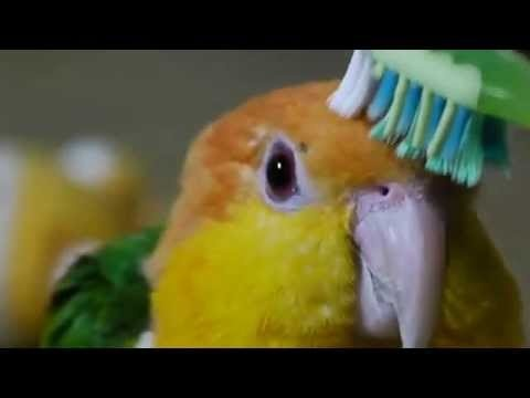 Just Brushing a Parrot