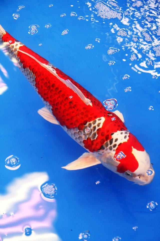 Colored carp is art.