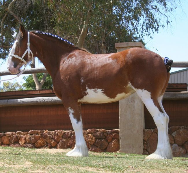 Benwerrin Scottish Sir Charles Clydesdale stallion - Performance, Carriage, Showing Bright - Bay 18hh 2001