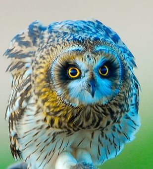 The Short-eared Owl occurs on all continents except Antarctica and Australia - it has one of the largest distributions of any bird.: Shortear Owl, Animal Kingdom, Beautiful Owl, Color, Marvel Owl, Shorts Ears Owl, Beautiful Birds, Birds Beautiful, Eye