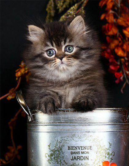 Tabby Persian Kitten