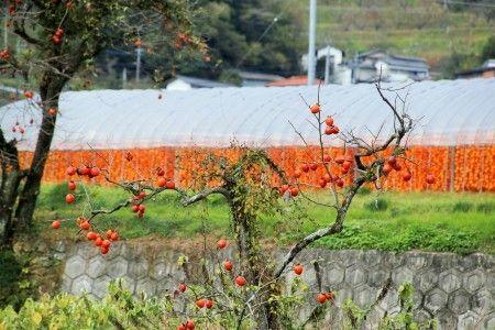 つるし柿の里~佐賀市大和町松梅地区~ : おかげさまです