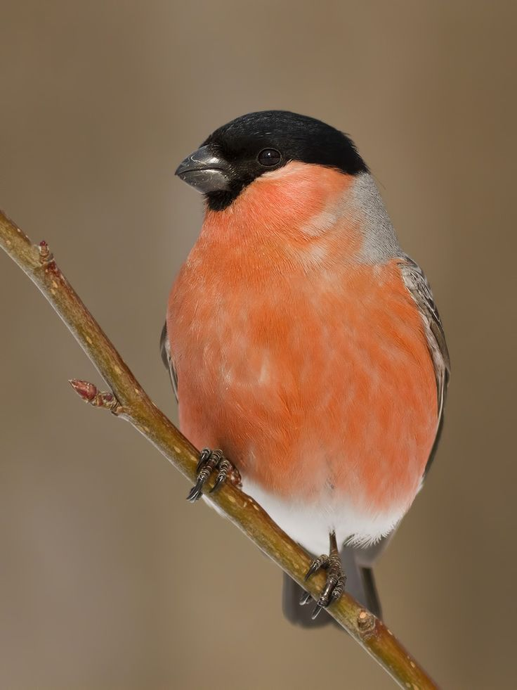 Eurasian Bullfinch - Pyrrhula pyrrhula; is a small bulky bull-headed bird, in the Fringillidae family. This bird breeds across Europe and temperate Asia in mixed woodland with some conifers.Photo by 35photo.