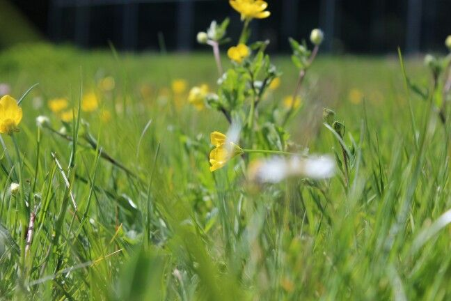 Prato fiori gialli