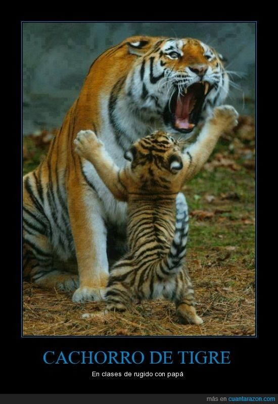 Este cachorro de tigre hoy aprenderá a rugir - En clases de rugido con papá