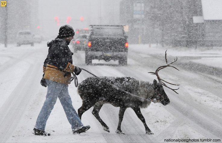 Walking the pet raindeer — David Hall and Star the Reindeer cross a street in downtown Anchorage while walking in a snowstorm on Sunday, Nov. 10, 2013. (AP Photo/Anchorage Daily News, Bill Roth)  #winter
