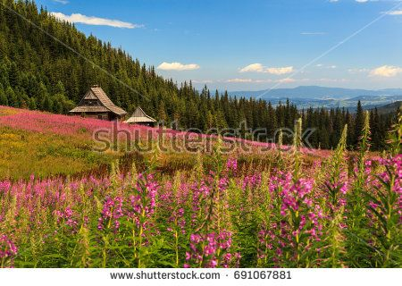Rosebay willowherb field in Polish Tatra mountains. --- © 2017 Marcin Świostek Photo All right reserved Feel free to share the original link. For other uses of the photo please contact me.